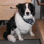 Glen the Collie Dog Wearing his Milgi Coats Bandana