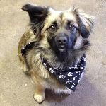 Ewok in his dog bandana from MilgiCoats