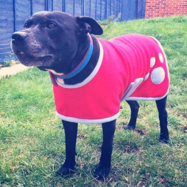 Deric the Staffie in his Dreamcoat