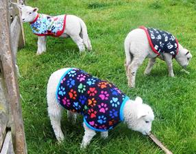 lamb coats for hugletts wood farm from milgi coats