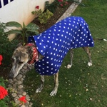 Dilly wearing greyhound coat in blue star design