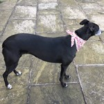 Lizzie the greyhound wearing a bandana
