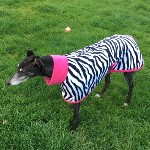 Lizzie the greyhound wearing a zebra and pink fleece greyhound coat
