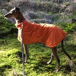 Torque the Lurcher wearing his Cosmic Orange fleece coat