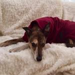 lurcher fleece coat in burgundy colour modelled by molly