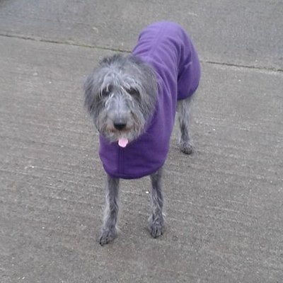 Lacey in her purple fleece coat for Lurchers