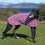 Star the Greyhound Wearing his Greyhound Coat in Scotland