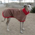 eddie the galgo in his fleece coat