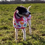miss charley in her bespoke fleece coat for lurchers