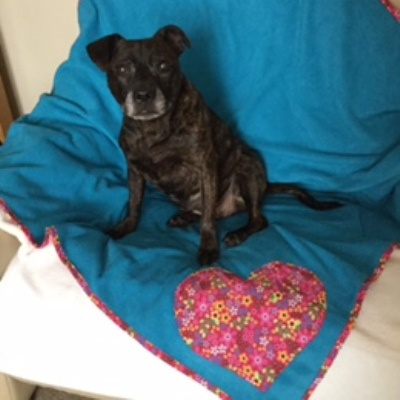 Kara the staffie on a turquoise dog blanket