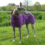 purple spot greyhound coat