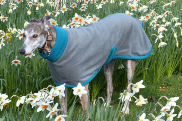 Fleece coat for greyhounds lurchers and whippets in teal and charcoal fabric