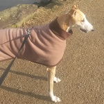 mocha and chocolate greyhound coat