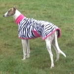 zebra with pink trim modelled by bunny bailey