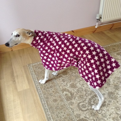 Rosie wearing her greyhound coat in very berry star design