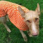alfie the pod wearing a cosmic orange greyhound coat