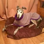 greyhound coat modelled by jenna as prize winner in online dog show
