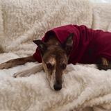 molly wearing a beautiful greyhound coat
