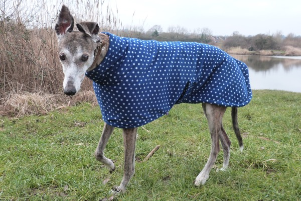 greyhound coat in navy spot design