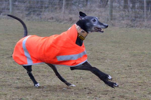Kevin the Greyhound in his Hi Viz Coat