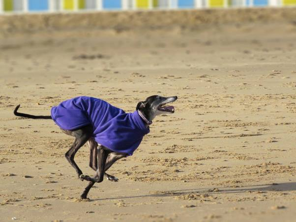 Milgi Coats Online Dog Show 2016 Best in Show Winner is Layla the Greyhound