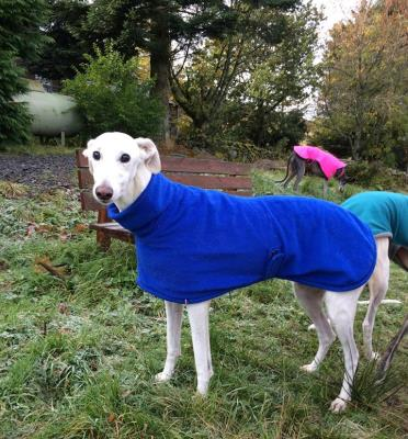 greyhound coat in blue for fawn coloured greyhounds