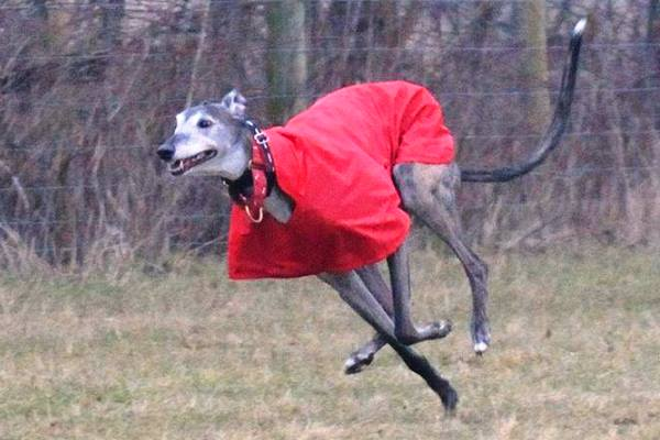 greyhound running in waterproof coat from milgicoats